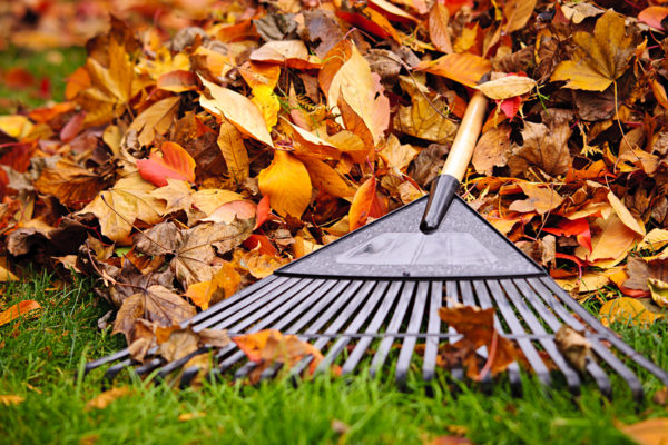 Pile of fall leaves with fan rake on lawn ** Note: Shallow depth of field